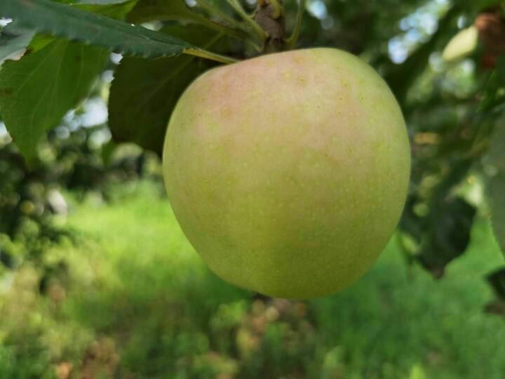 陕西 嘎啦苹果 5斤